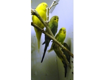 Papużka Falista