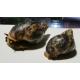Ślimak  olbrzymi  Achatina Fulica